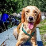 Nekku tränar till räddningshund hemma i Finland