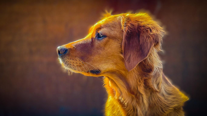 Nova MH tjänstehund patrullhund TJH Rivenfield Titania